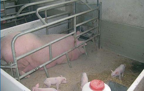 для станки свиней руками своими